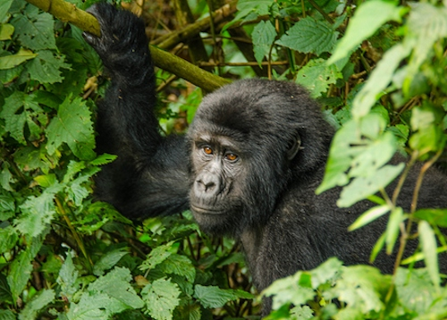 bwindi national park,uganda safaris,uganda gorilla safaris,gorilla safaris,chimpanzee safaris,source of river nile,uganda wildlife safaris,